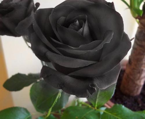 haz tu propia rosa negra!